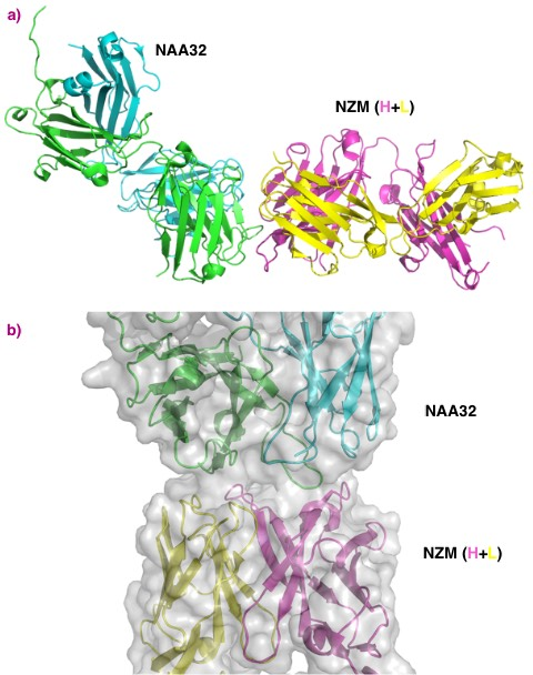 Structural features of the interaction of natalizumab with a patient-derived antibody.
