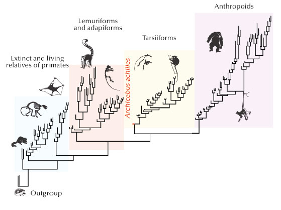 Summary phylogenetic tree showing Archicebus achilles as the most basal taxa of tarsiiform primates