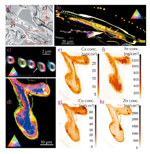 Optical image of an unstained thin section of gill tissue of D. magna and elemental distribution maps