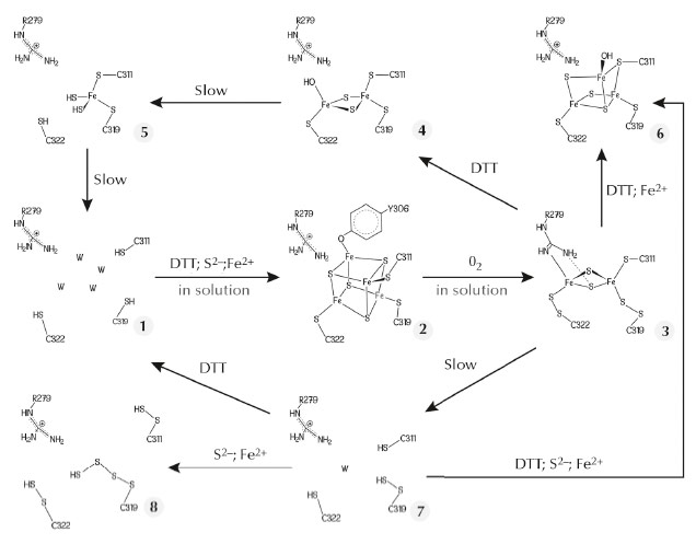 Postulated Fe-S cluster degradation pathway based on our different TmHydE crystal structures