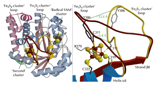 Structural differences between the Fe4S4 and Fe2S2 cluster-containing TmHydE proteins
