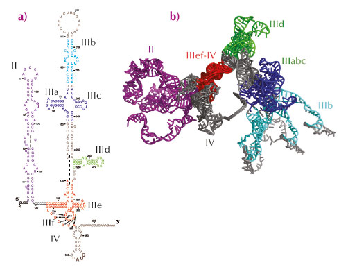 Secondary structure of hepatitis C virus internal ribosome entry site