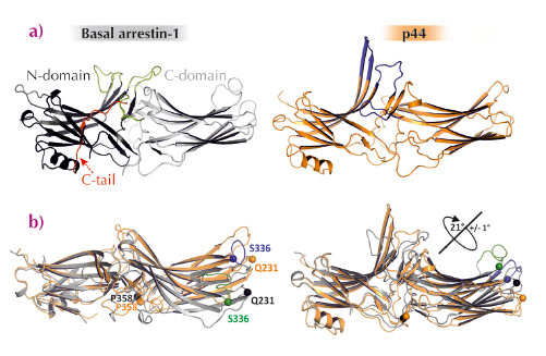 Structural differences between basal arrestin-1 and p44