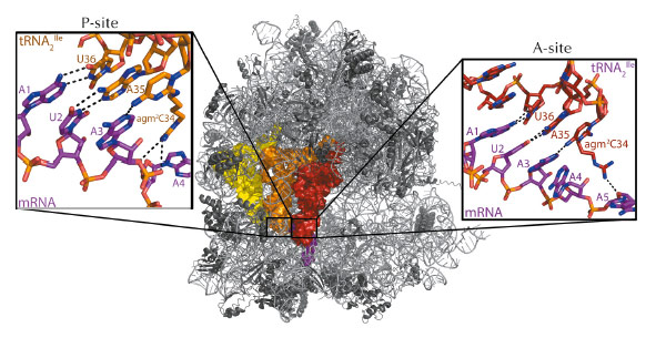 crystal structure of the 70s ribosome with mRNA coding for two tRNA2Ile
