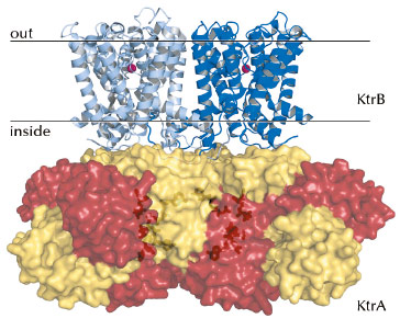 Crystal structure of the KtrAB K+ transporter of Bacillus subtilis