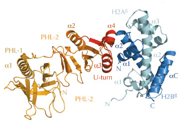 2.35 Å structure of the Sp16M chaperone domain (orange/red) in complex with histones H2A-H2B (light green–blue)