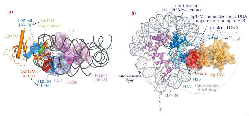 Model for FACT-mediated nucleosome reorganisation