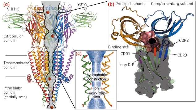 View parallel to the membrane plane of the crystal structure of the split 5-HT3A receptor in complex with VHH15