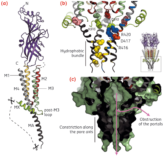 View of one subunit of the split 5-HT3A receptor