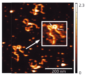 AFM results showing full length SEP3 in complex with a 1-kb DNA fragment