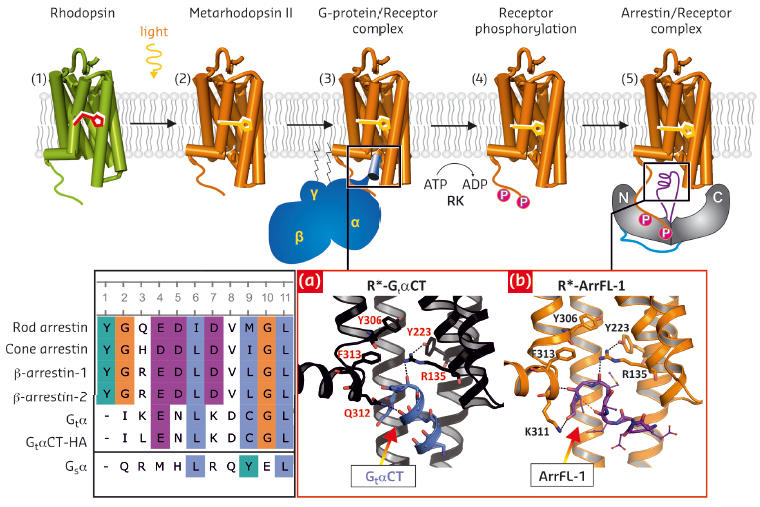rhodopsin signal transduction and deactivation