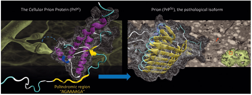 conversion of the cellular prion protein (PrPC) to its pathological isoform