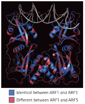 Structure of Arabidopsis thaliana ARF1 protein dimer in complex with DNA oligonucleotide