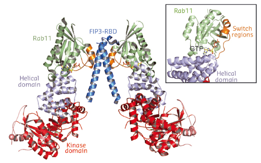 structure of PI4KIIIβ in complex with Rab11