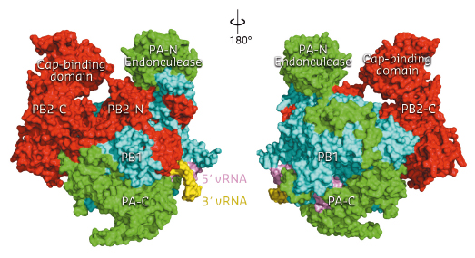 Front and back views of the complete influenza polymerase