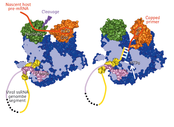 model of how cap-snatching (left) and cap-dependent priming of transcription (right) works by in situ rotation of the cap-binding domain