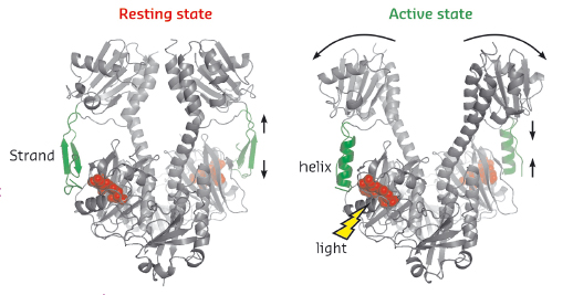 Crystal structures of the resting and active state of the phytochrome fragment