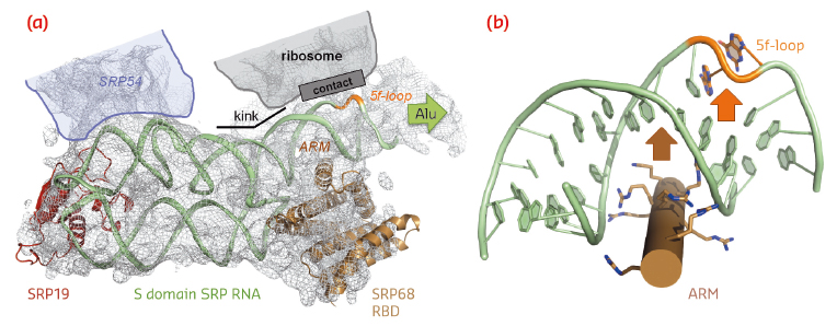 SRP RNA remodelling by SRP68-RBD