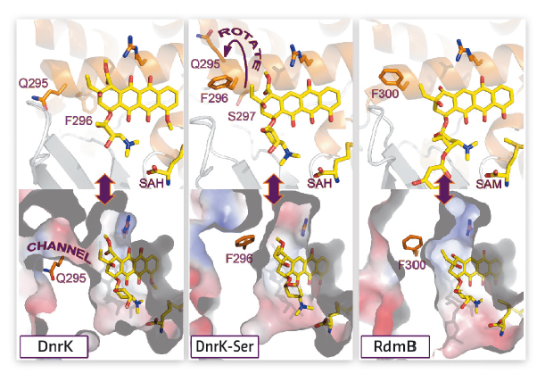 active site architectures of DnrK, DnrK-Ser and RdmB