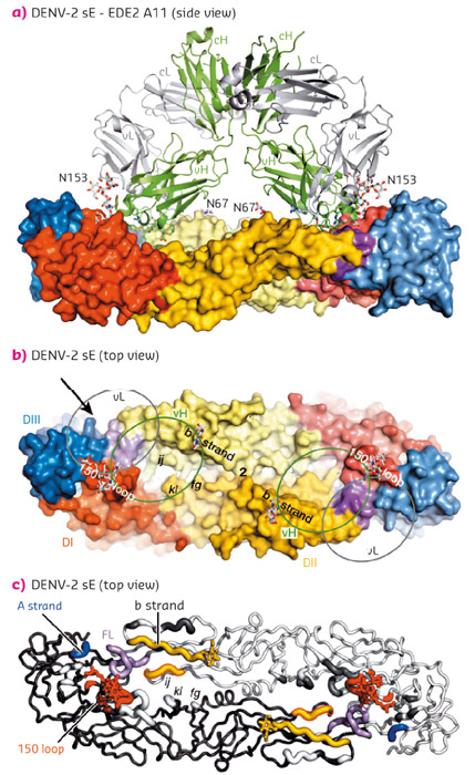Interactions between the bnAbs and dengue virus protein E dimers