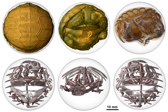 A selection of images demonstrating the use of synchrotron X-rays to image both hard and soft tissue inside the sulcata turtle egg.