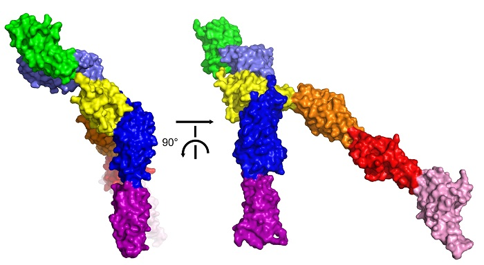 a surface representation of the crystal structure of human Robo2 ectodomain
