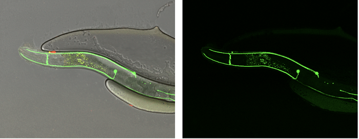 Neuronal activity in the C. elegans nematode confirmed the structure-driven hypotheses
