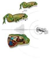 Illustration how a Gardiner's frog can hear with its mouth: Top left: The skin of the animal reflects 99.9% of an incoming sound wave hitting the body close to the inner ear. Without a middle ear, sound waves cannot be transported to the inner ear. Bottom left: the mouth acts as a resonating cavity for the frequencies of the frogs' song, amplifying the amplitude of the sound in the mouth. The body tissue between the buccal cavity and the inner ear is adapted to transport these sound waves to the inner ear. Credit R. Boistel/CNRS