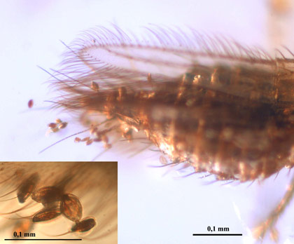 Gymnosperm pollen attached to the abdomen and wing of a thysanopteran from the Alava amber