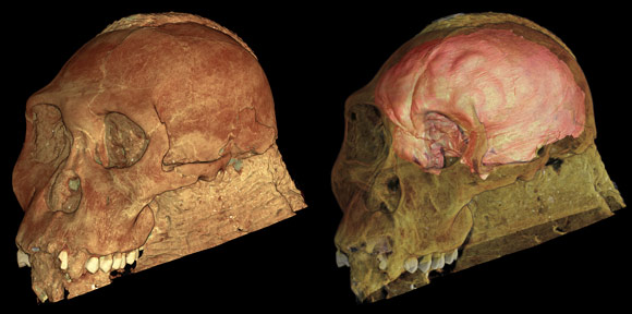Reconstruction of the skull of Australopithecus sediba to show the brain endocast.