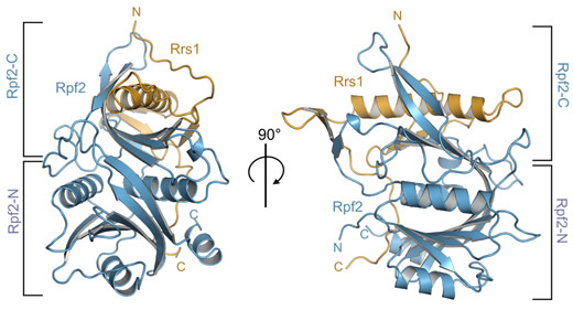 Overall structure of the Aspergillus nidulans Rpf2-Rrs1 complex.