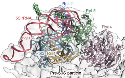 Interaction of Rpf2-Rrs1 with the pre-ribosome.