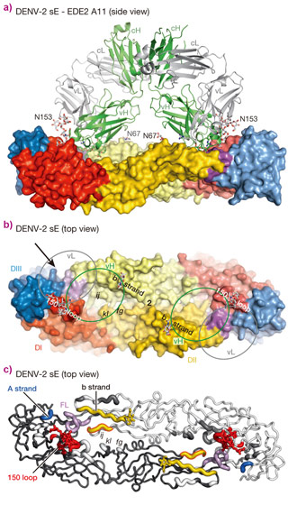 Interactions between the bnAbs and dengue virus protein E dimers.