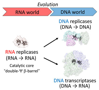 DNA replication and transcription may have evolved from a common catalytic core