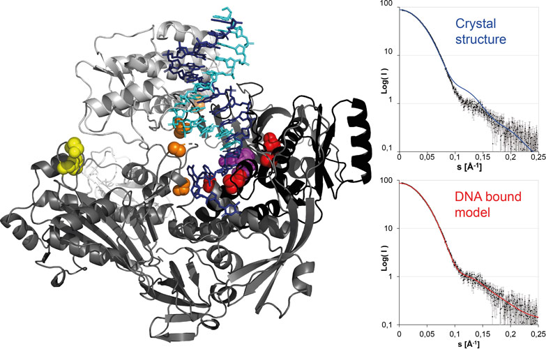 Vaccinia virus DNA polymerase in elongation mode with bound template strand