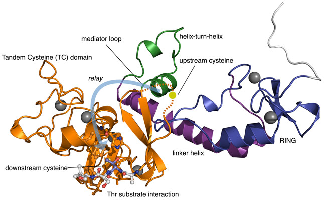 Crystal structure of the RCR E3 ligase machinery from MYCBP2.