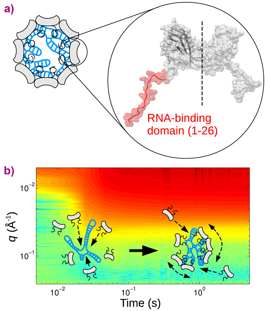 How an icosahedral virus packages its RNA genome