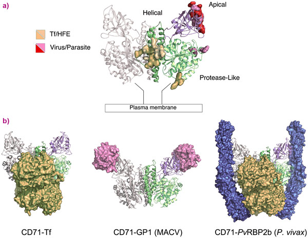 CD71 receptor: ligand recognition epitopes and binding modes.
