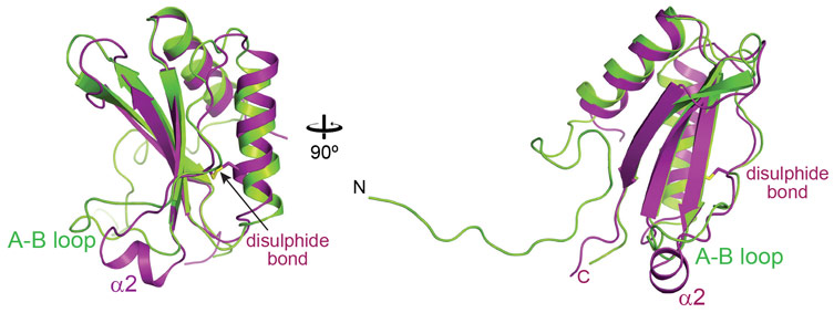 Overlay of the crystal structures of the oxidised SSUL1 module of CcmM from Synechococcus elongatus PCC7942 (in magenta) and the small subunit of Rubisco, RbcS (in green)