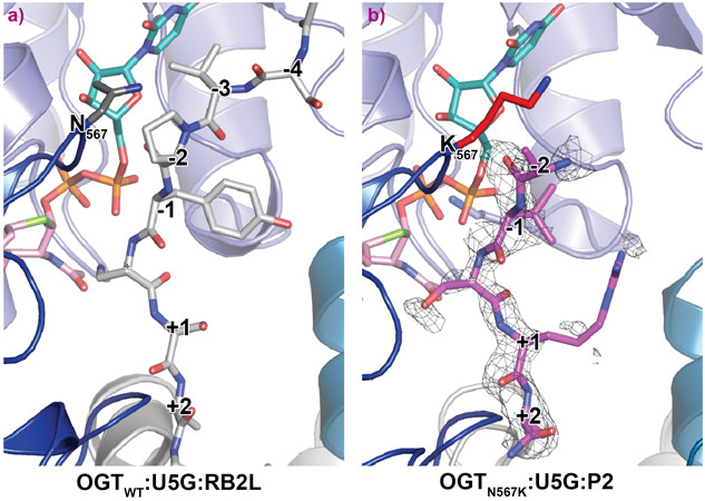 Crystal structures of OGT ternary complexes of the OGTWT and OGTN567K active site in complex with UDP-5S-GlcNAc and acceptor peptide.