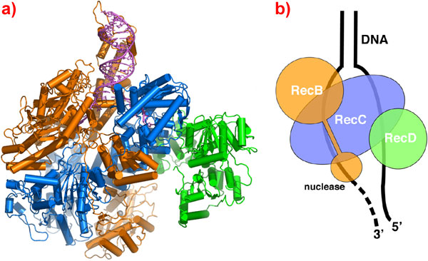 the RecBCD complex: a)Ribbon representation b)Schematic diagram