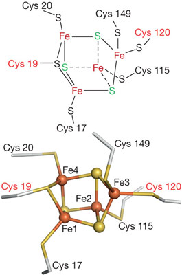 The non-cuboidal structure and coordination sphere of the novel [4Fe-3S] cluster.
