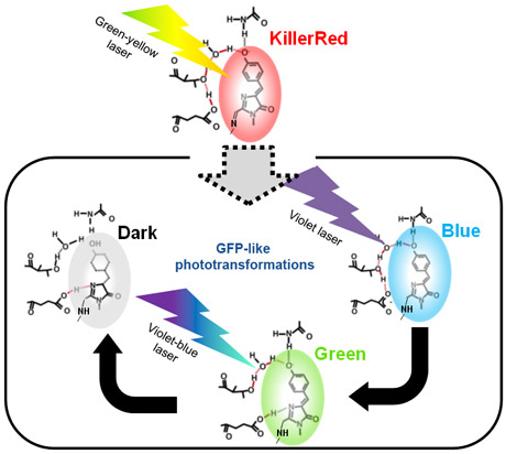 Laser-induced phototransformation of KillerRed