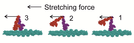 Schematic model of the movement of myosin heads upon muscle stretching