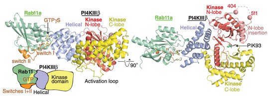 Two orthogonal views of the structure crystal structure PI4KIIIb in complex with Rab11a-GTPgS