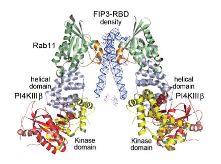 Crystal structure of the ternary complex between PI4KIIIb, Rab11a and FIP3-RBD (Rab-binding domain)