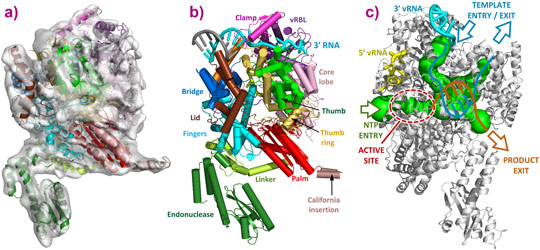 3D reconstruction of the LACV polymerase apo-L1750