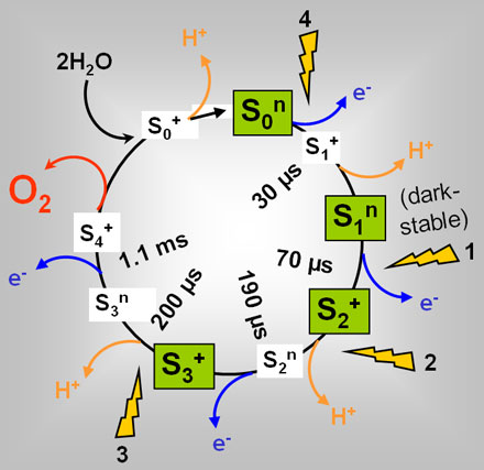 Schematic reaction cycle of photosynthetic water oxidation and O2 production at the manganese complex of photosystem II.